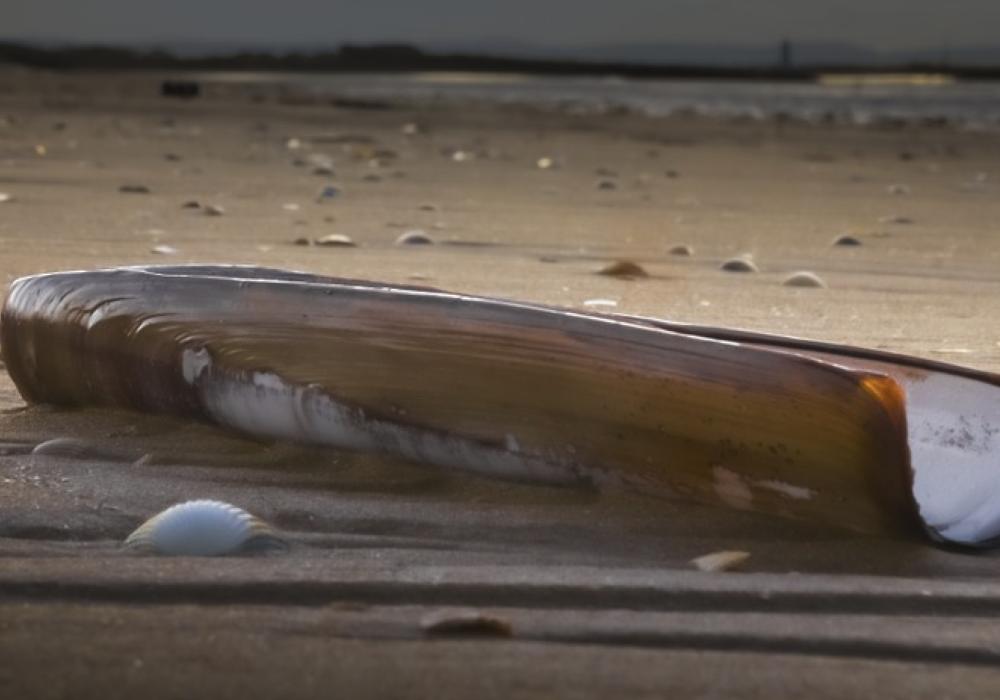 razor clams for crab bait